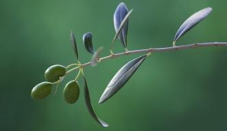 Čaj od maslinovog lišća, zdraviji od zelenog