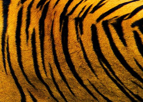 Policija u automobilu državljanina BiH pronašla sibirskog tigra