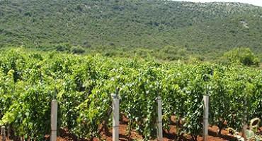Vrgorački vinogradari u očaju: Ovo je jedna od lošijih berbi