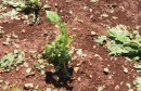 Olujno nevrijeme uništilo duhan i vinograde na području širokobriješke općine