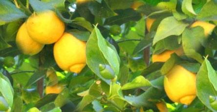 Ljekovita svojstva ulja limuna