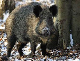 Meso divljih svinja većinom zaraženo trihinelozom