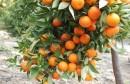Energični Opuzenac otkrio da rad oko mandarine nije previše zahtjevan, ali ne ide bez tajnog 'sastojka'