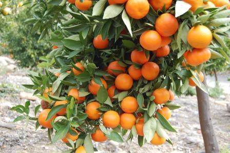U dolini Neretve nudi 500 kn dnevno za branje mandarina, no postoji jedan veliki problem