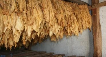 Hercegovački ravnjak zaštićen, ali proizvođači i dalje kriminalci