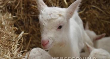 Q-groznica pokosila cijelu farmu koza
