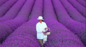 Polje zaogrnuto ljubičastim plaštem spremno za žetvu: Slavonska lavanda