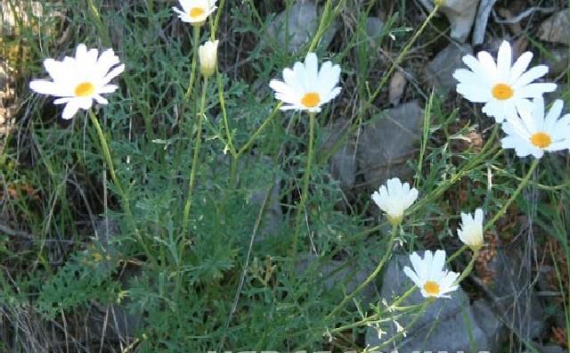 Biljka 'Buhač' – izvor prirodnog insekticida