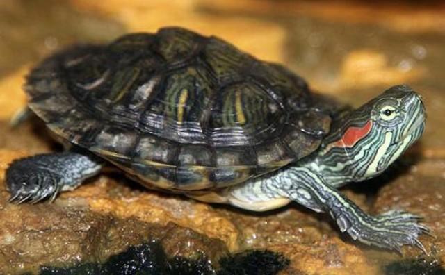 Uprava Parka Hutovo blato: Došlo je do zabune, nismo pustili kornjaču
