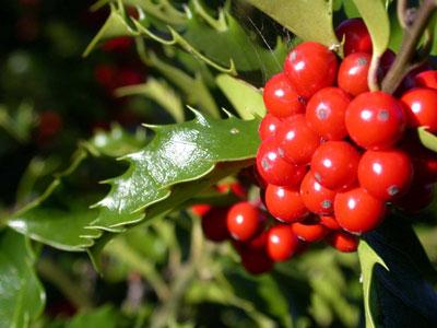 Lišće božikovine liječi mnoge bolesti no plod je jako otrovan!