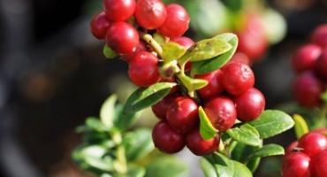 Brusnica i med - Prirodni lijek