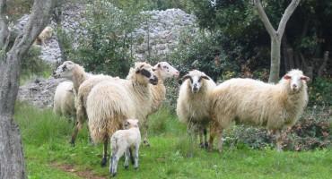 Tomislavgrad: Vukovi poklali 54 ovce i 3 koze Miroslava Matića