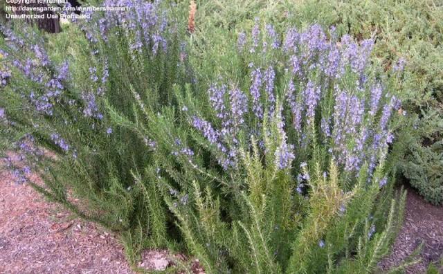 Ljekovita biljka ružmarin