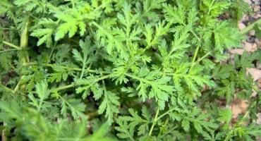 Artemisia annua u potpunosti uništava stanice raka