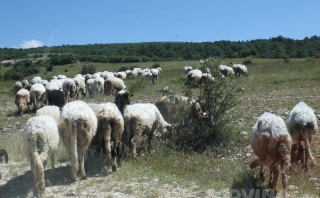 Priče iz Hercegovine: Iz života čobana na planini