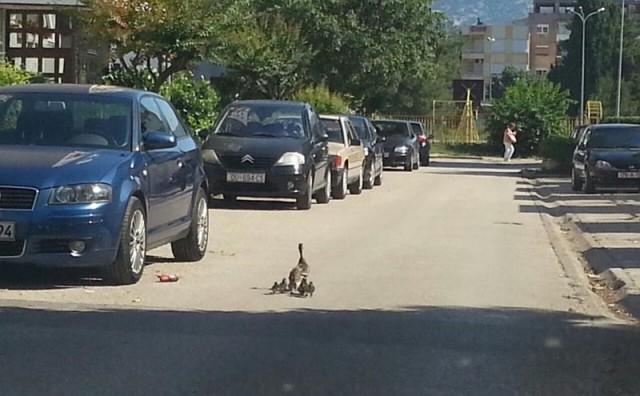 Mostar: Mama patka sa pačićima u šetnji centrom grada
