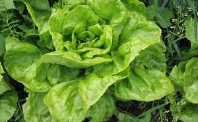 Iznenađujuće dobrobiti zelene salate