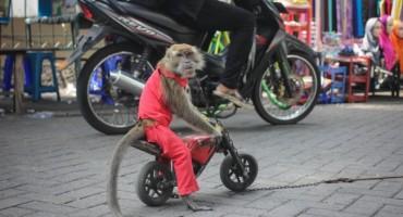 Nevjerojatno: Majmun vozi motor