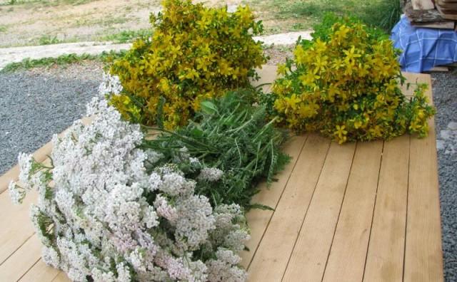 Ljekovito bilje: Stolisnik (hajdučka trava )