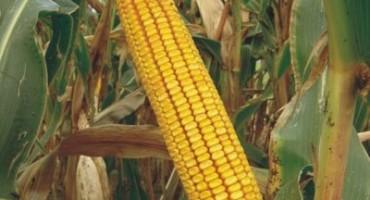 Pobrali kukuruz na pogrešnoj njivi, mediji se raspisali o 'kombajn bandi'