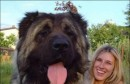 Pogledajte najveće pse na svijetu!