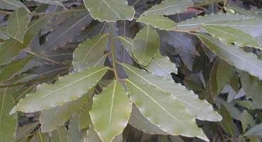 Pravo rješenje: ova biljka od davnina se koristi kod grlobolje, prehlade i gripe