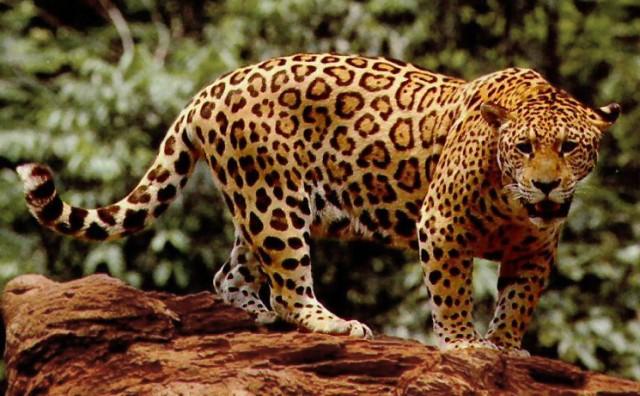 Trogodišnji dječak pao u nastambu s jaguarima!