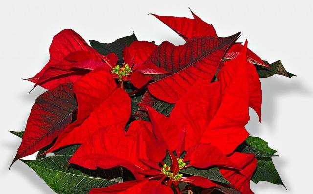 Božićna zvijezda: Greška koju radimo čim kupimo ovaj cvijet i kako je izbjeći
