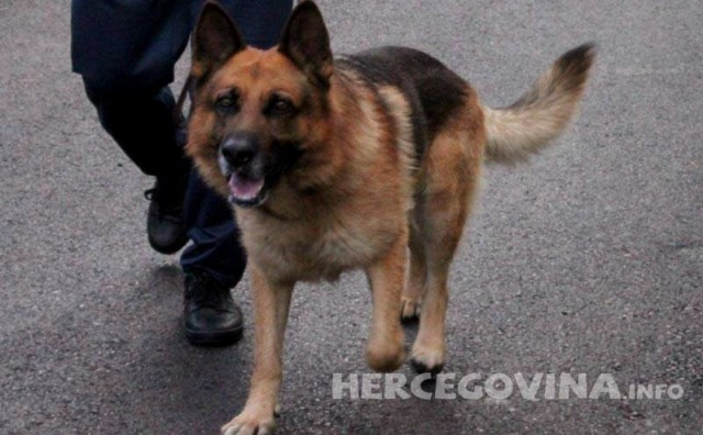Njegovo pseće veličanstvo: 7 zanimljivosti o njemačkim ovčarima