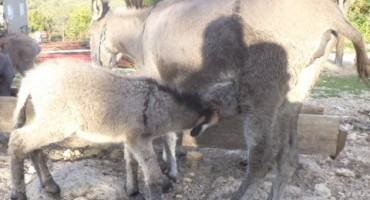 Mlijeko magarica na cijeni: Najveću ergelu ima Dražen Rašić iz Tihaljine
