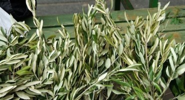 Antioksidans bomba: Čaj od suhih maslinovih grančica