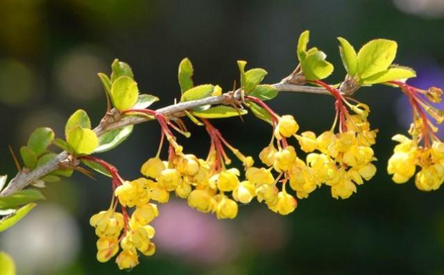 Ljekarnički naziv žutike je Cortex Berberidis radicis