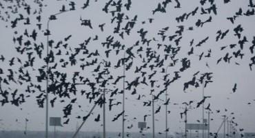 Zašto vrane ljude najviše napadaju u mjesecu svibnju?