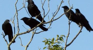 Vrane su inteligentnije od većine sisavaca