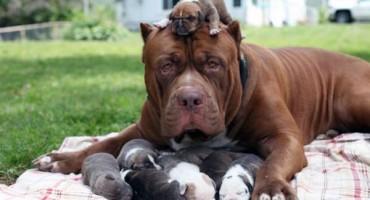 Najveći pitbul na svijetu postao tata