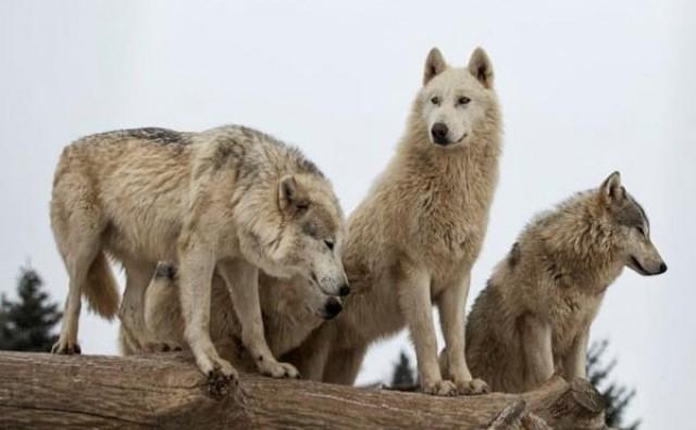 Vukovi se spustili s planina pa siju strah među mještanima: 'Da nije bilo ogrlice, rastrgali bi i mog psa!'