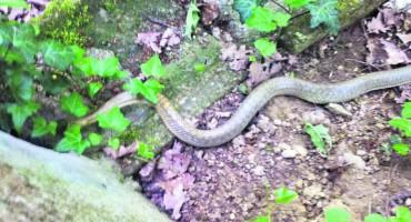 S toplim vremenom probudile se i zmije. Evo što učiniti ako ih vidite