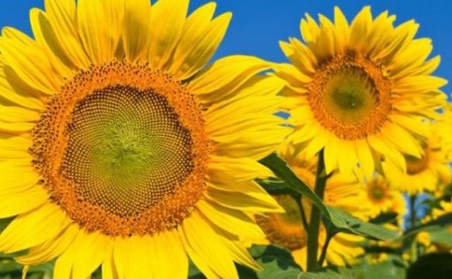 Naučnici napokon otkrili zašto suncokreti prate Sunce