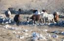 Spektakularan video divljih konja