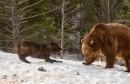 medvjed i vukovi