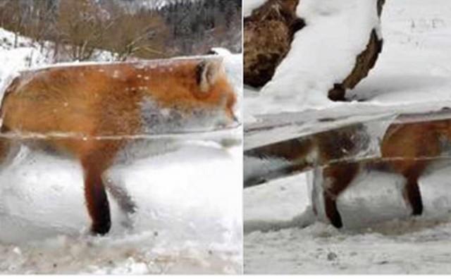 Bizarna fotografija zapalila internet: iz Dunava izvađena lisica u kocki leda