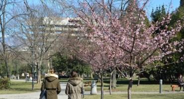 U Mostaru procvjetala japanska trešnja