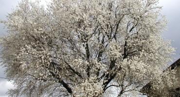 U Hercegovini procvjetali bademi, neke sorte šljiva i marelice