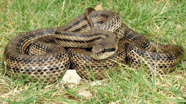 Mogu li se zmije penjati uz fasadu i oluke i tako ulaziti u kuće gdje ljudi borave?!