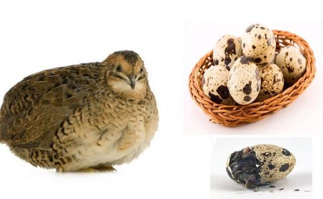 Prepeličja jaja samo su jedna od mnogih jestivih vrsta jaja