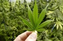 NAPRAVIO LABORATORIJ Nagrađivani uzgajivač gljiva uhićen zbog sadnje marihuane