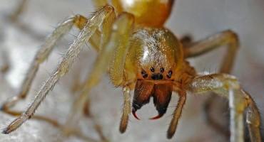 Najezda otrovnih pauka u Europi