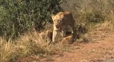 Dvije lavice spašavale mladunce od slonova