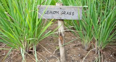 Limunska trava zanimljiva je biljka brojnih dobrobiti za organizam