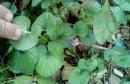 Čudo u Mostaru: Ljubičice procvjetale u prosincu
